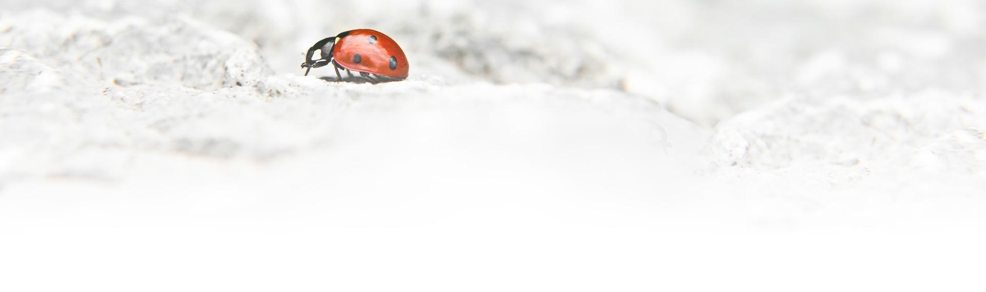 biedronka na kamieniu